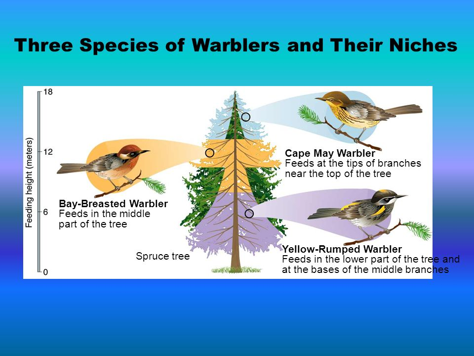 Three Species of Warblers and Their Niches