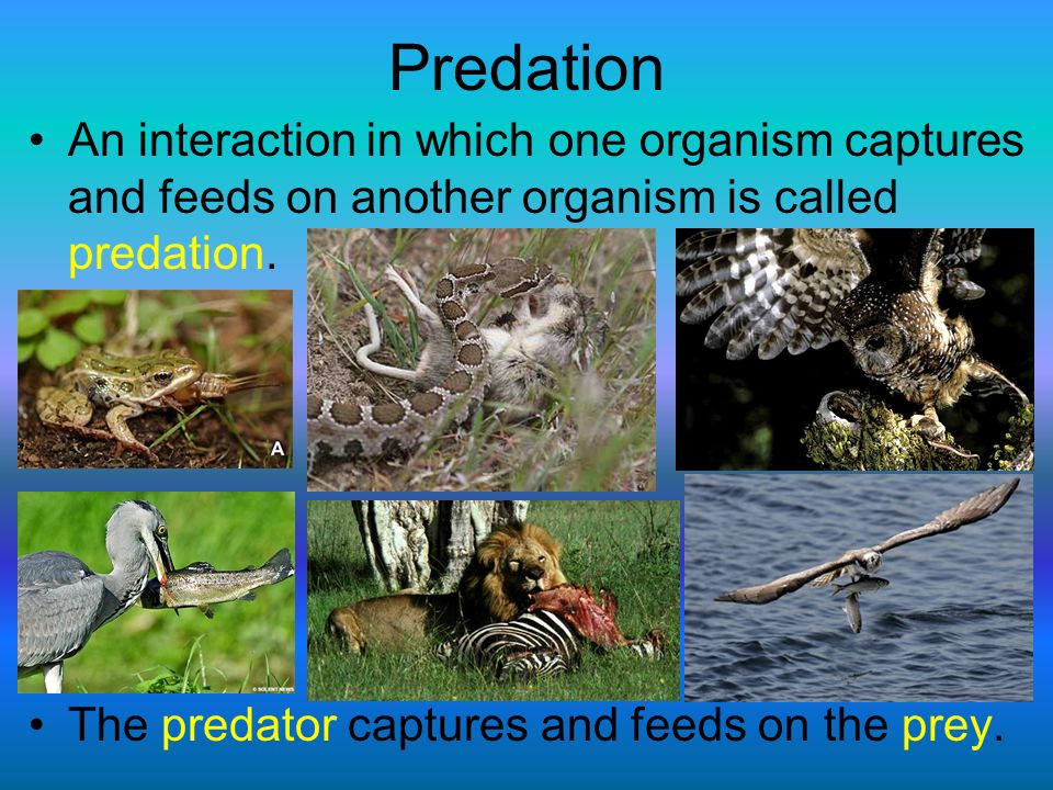 Predation An interaction in which one organism captures and feeds on another organism is called predation.