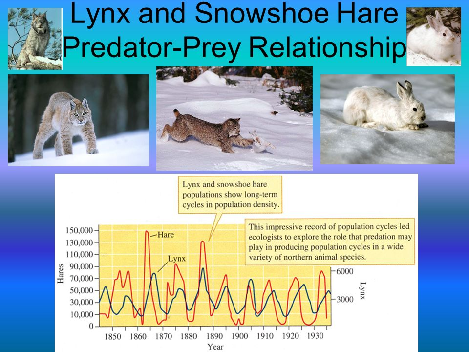 Lynx and Snowshoe Hare Predator-Prey Relationship
