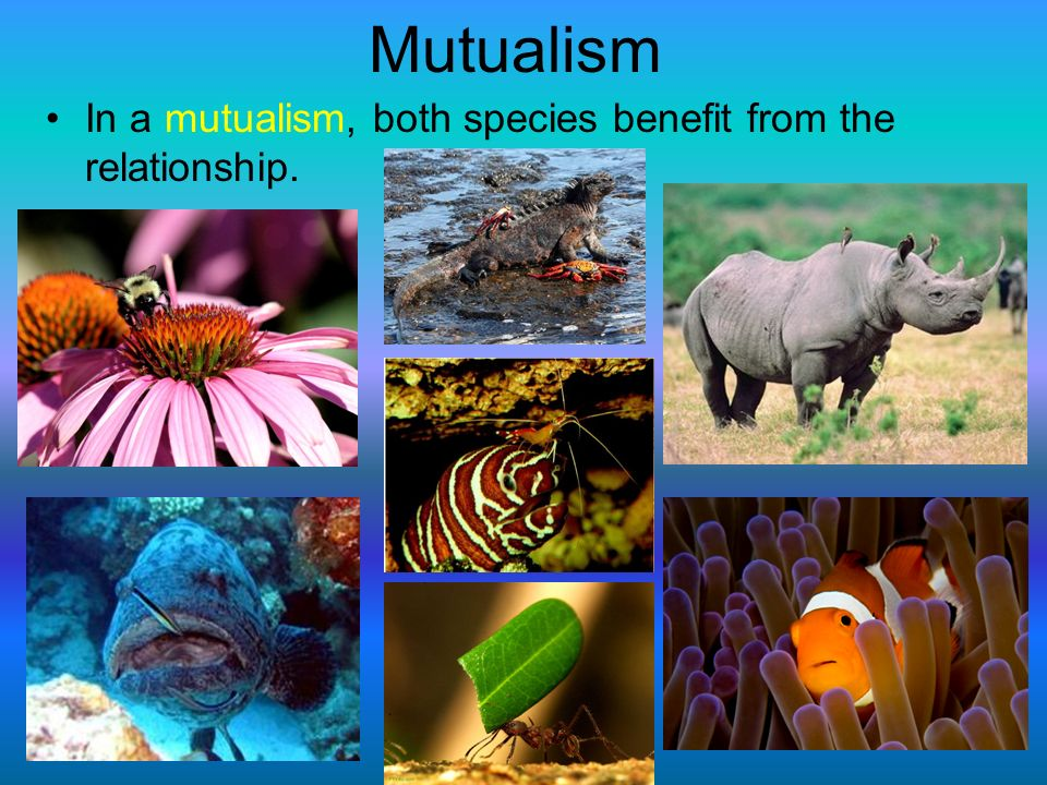 Mutualism In a mutualism, both species benefit from the relationship.