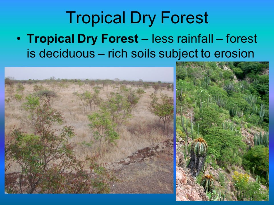 Tropical Dry Forest Tropical Dry Forest – less rainfall – forest is deciduous – rich soils subject to erosion.
