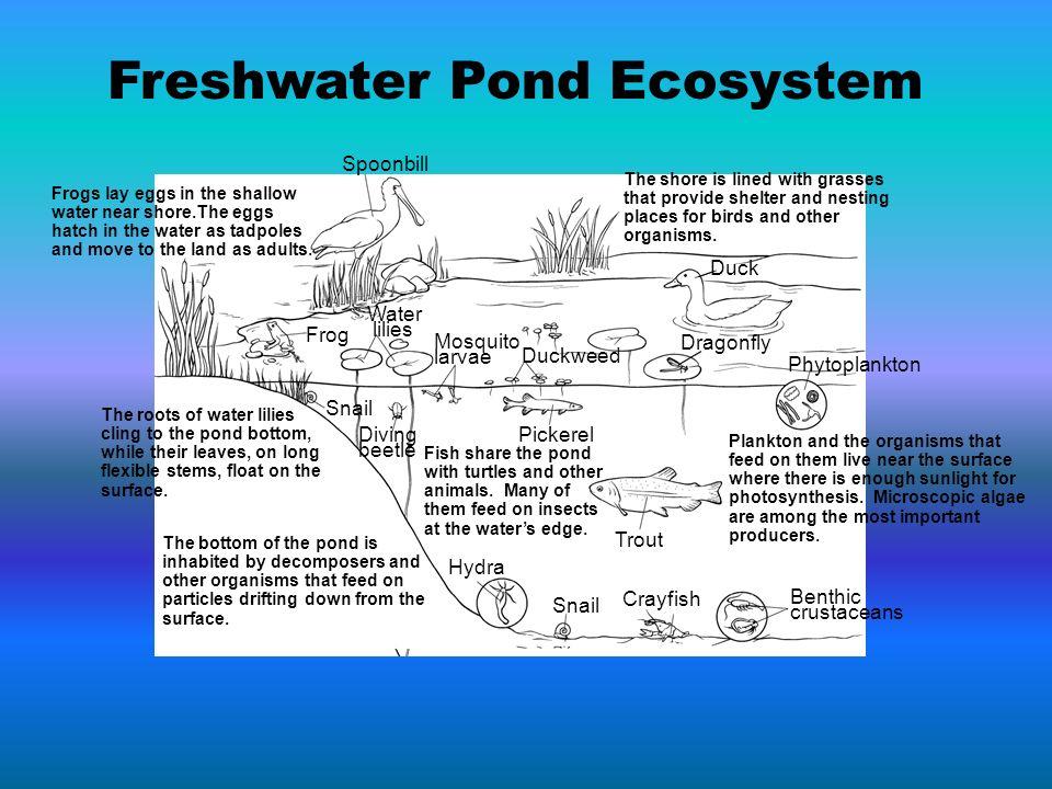 Freshwater Pond Ecosystem