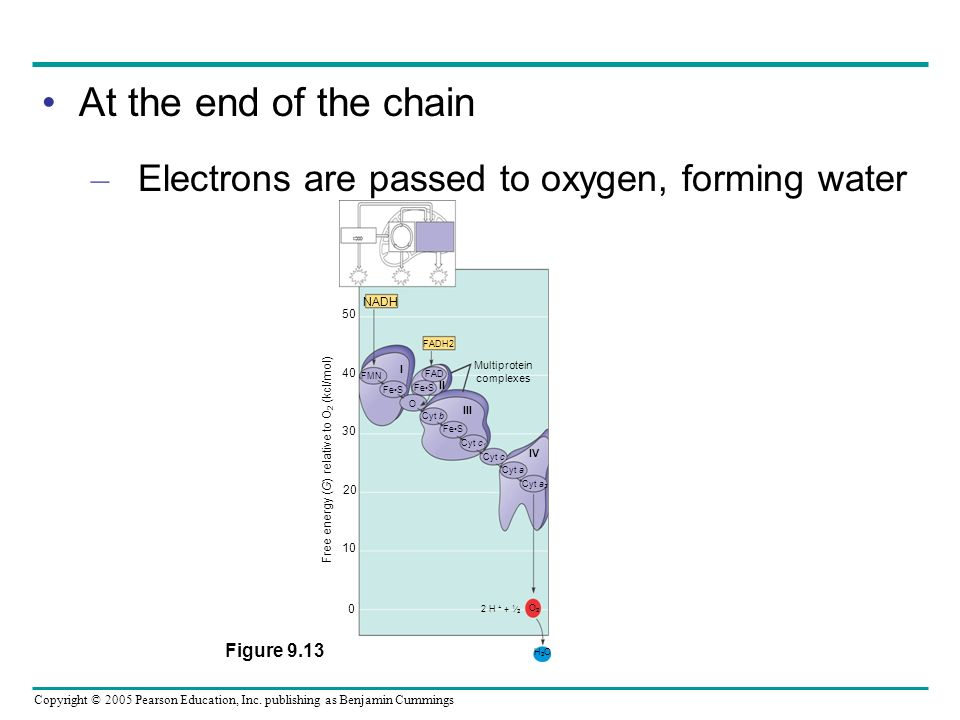 At the end of the chain Electrons are passed to oxygen, forming water