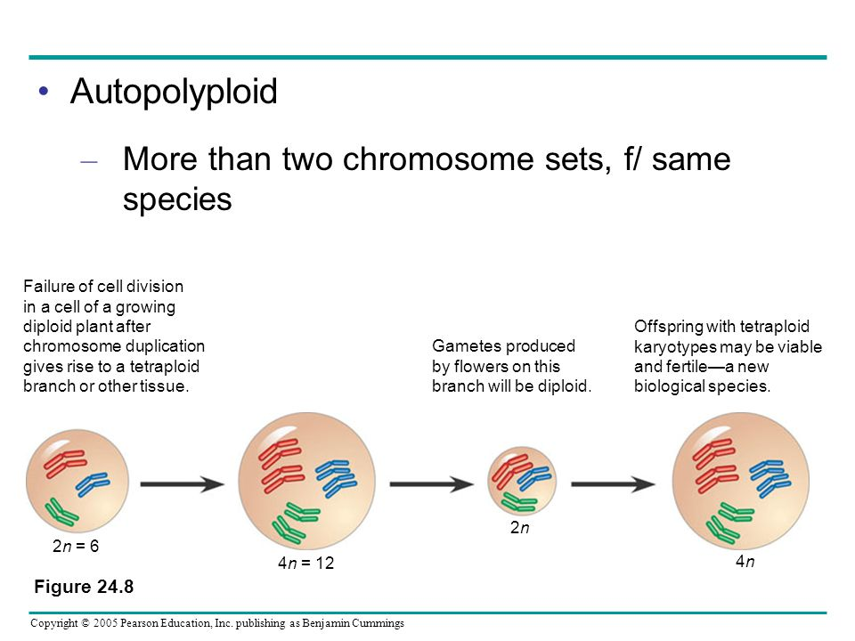 Autopolyploid More than two chromosome sets, f/ same species