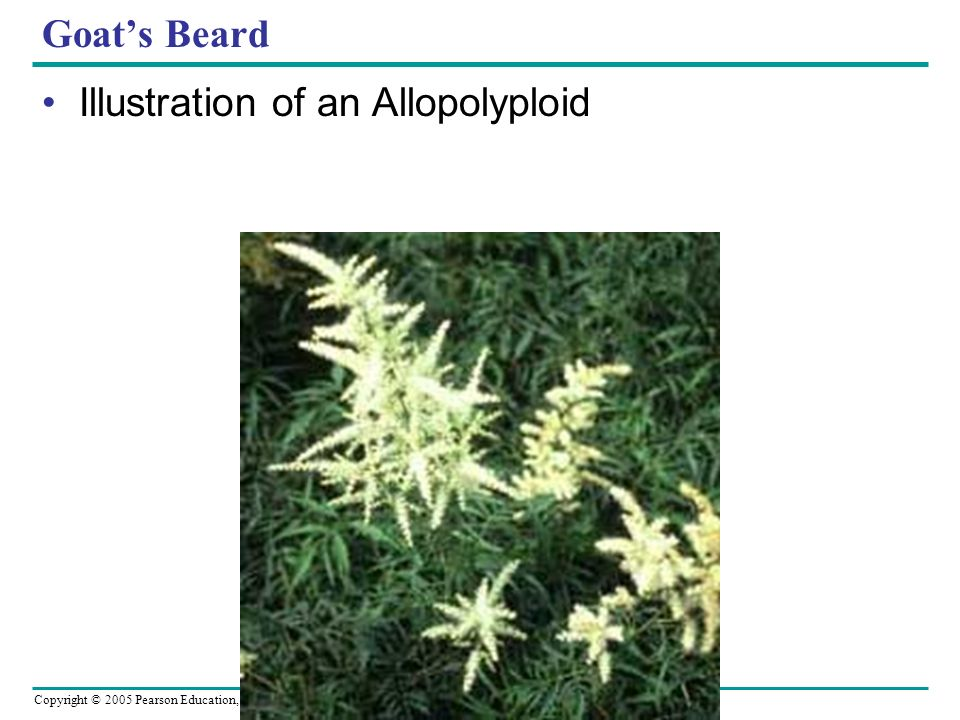 Goat's Beard Illustration of an Allopolyploid
