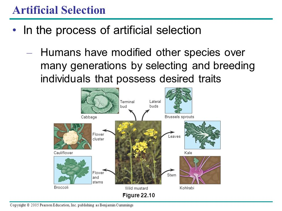 In the process of artificial selection