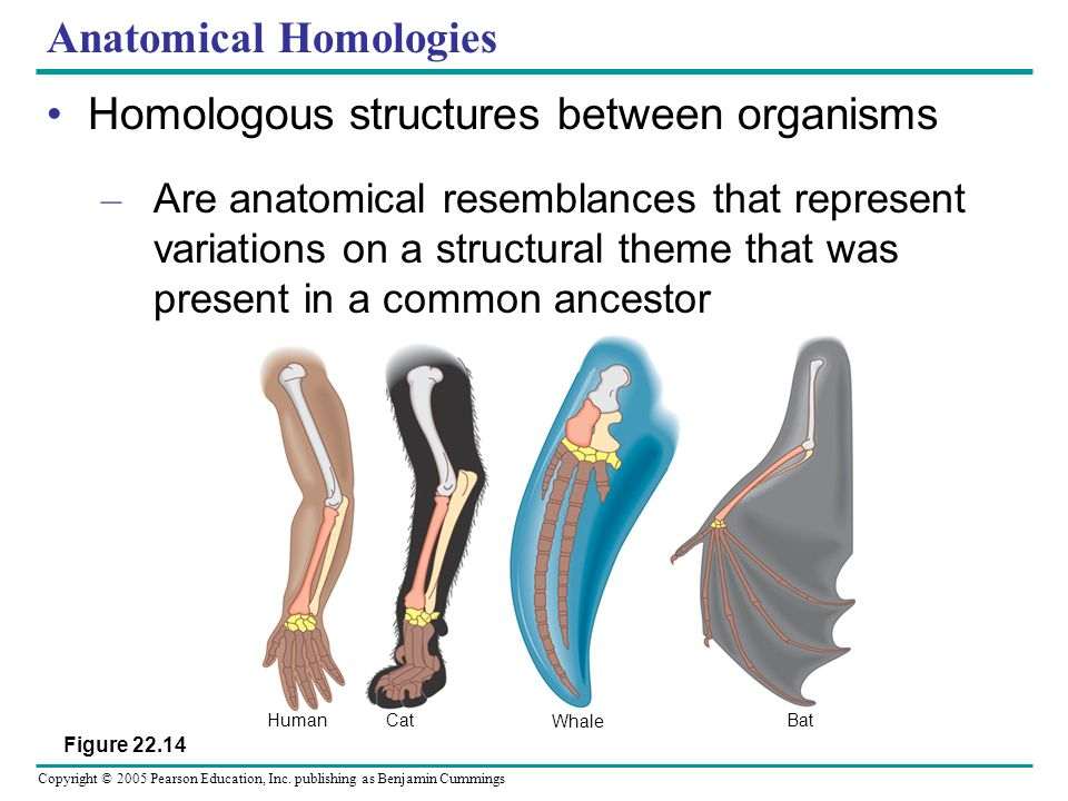 Anatomical Homologies