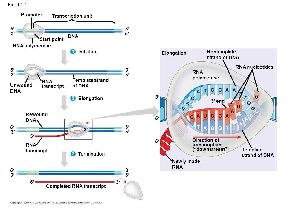 Fig. 17-7 Promoter. Transcription unit. 5 3 3 5 DNA. Start point. RNA polymerase. 1. Initiation.
