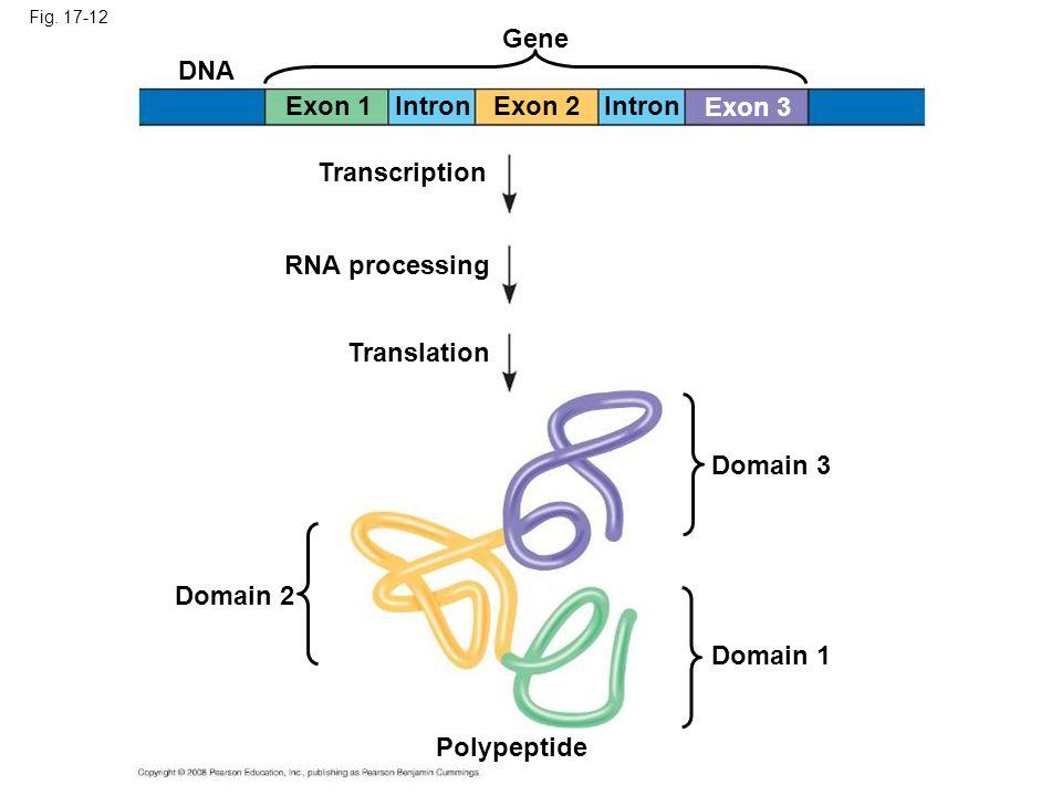 Gene DNA Exon 1 Intron Exon 2 Intron Exon 3 Transcription
