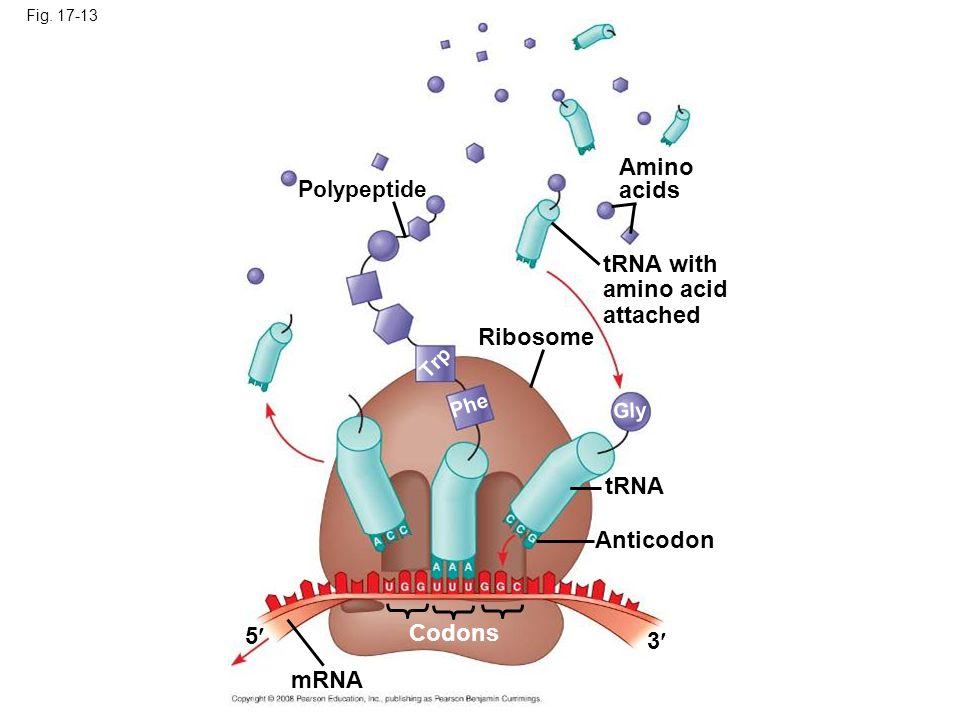 Amino acids tRNA with amino acid attached Ribosome tRNA Anticodon 5