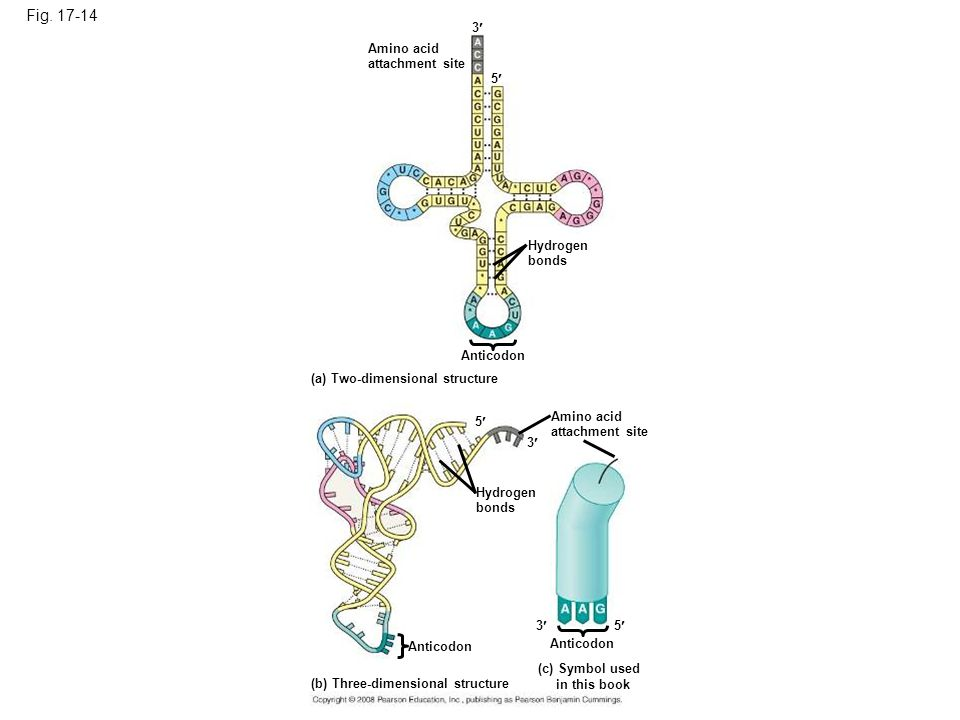 Figure 17.14 The structure of transfer RNA (tRNA)
