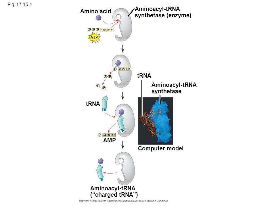 Aminoacyl-tRNA Amino acid synthetase (enzyme) tRNA Aminoacyl-tRNA