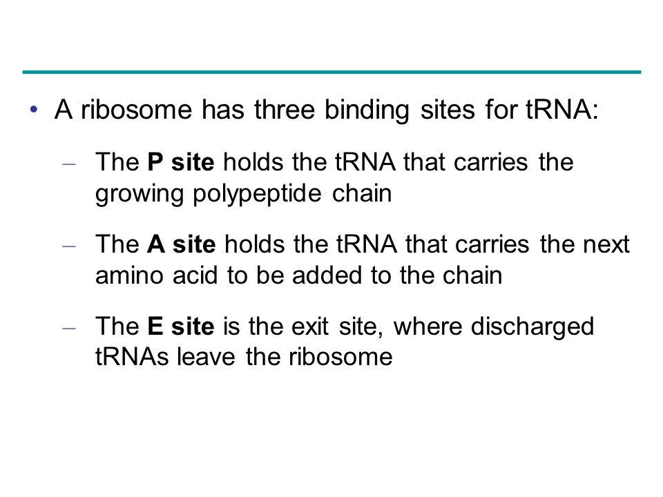 A ribosome has three binding sites for tRNA: