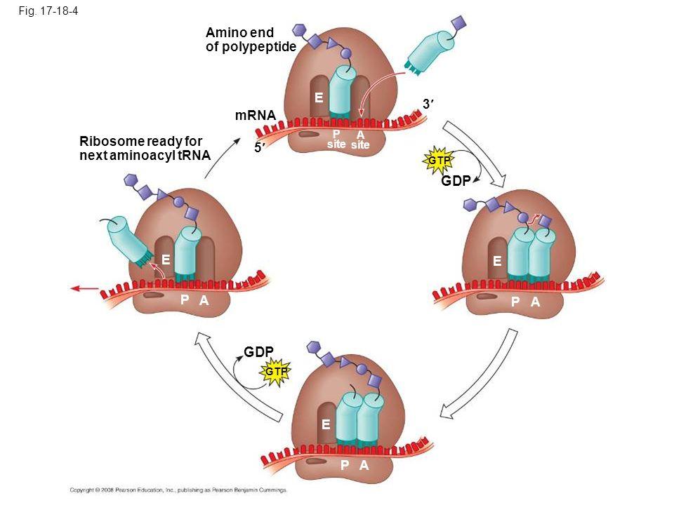 GDP GDP Amino end of polypeptide E 3 mRNA Ribosome ready for