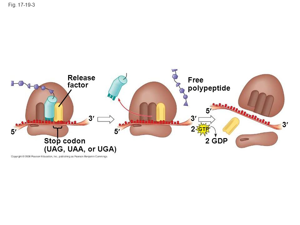 Release factor Free polypeptide 5 3 3 3 2 5 5 Stop codon