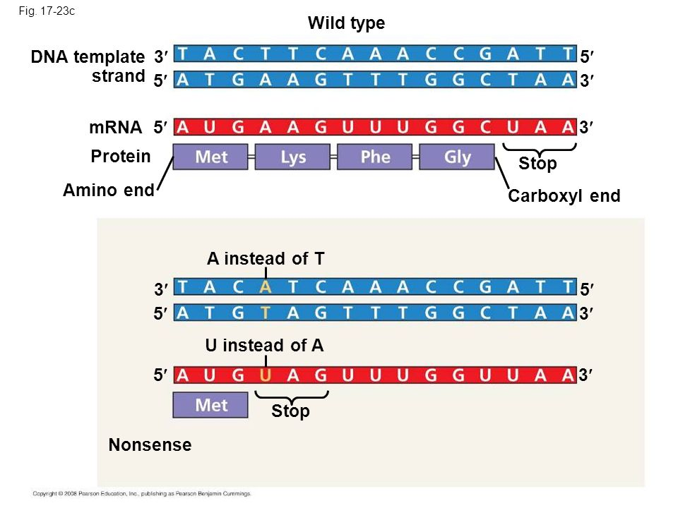 Wild type DNA template strand 3 5 5 3 mRNA 5 3 Protein Stop