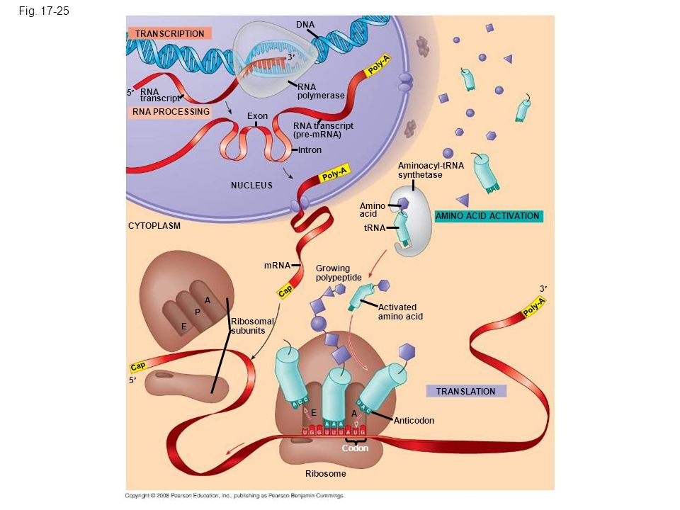 Fig. 17-25 DNA. TRANSCRIPTION. 3 Poly-A. RNA. polymerase. 5 RNA. transcript. RNA PROCESSING.