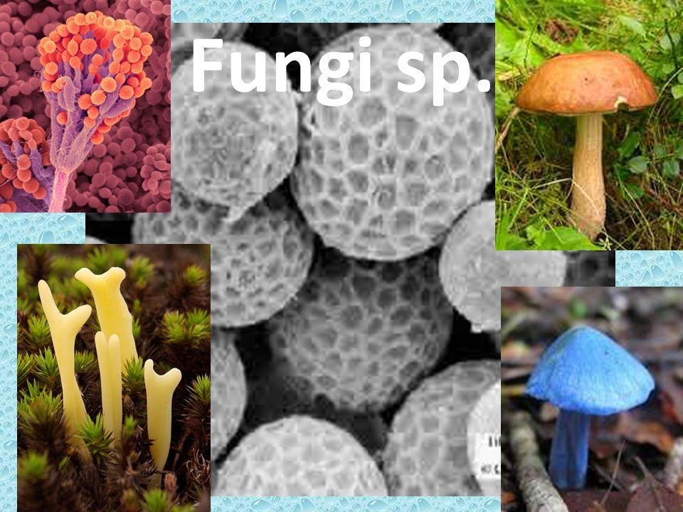 Fungi sp.
