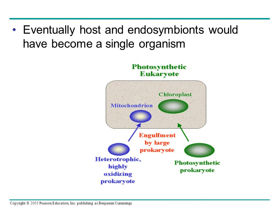 Eventually host and endosymbionts would have become a single organism