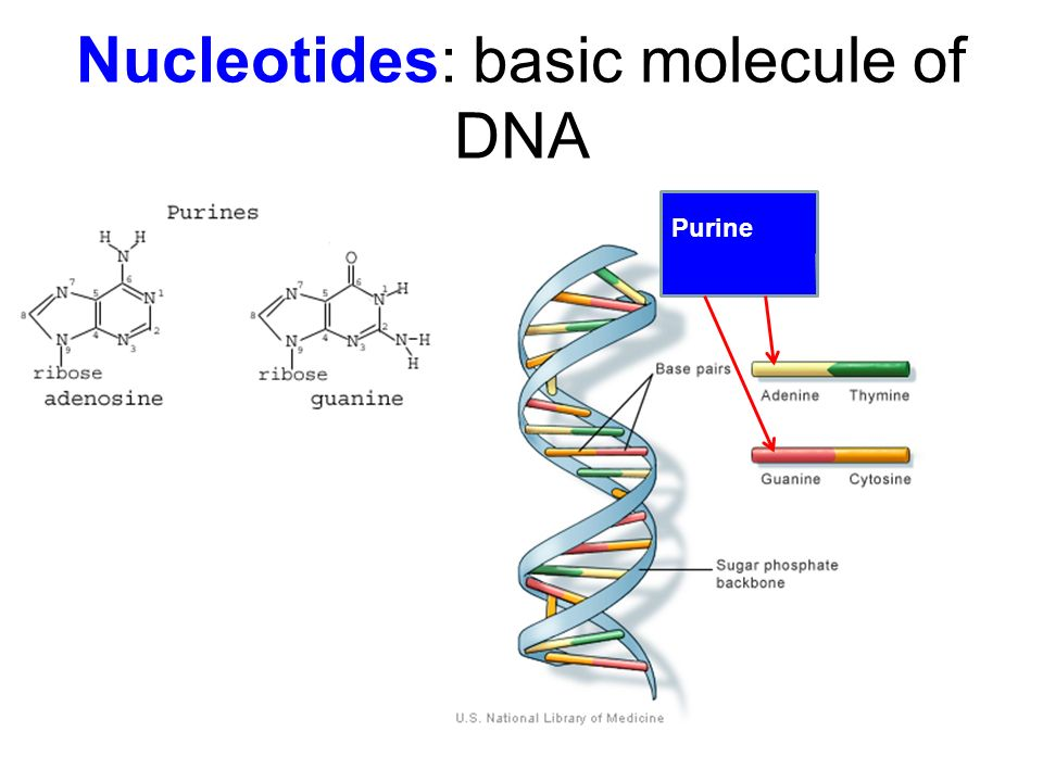 Nucleotides: basic molecule of DNA