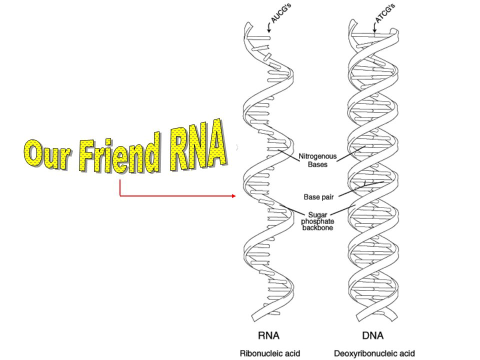 Our Friend RNA