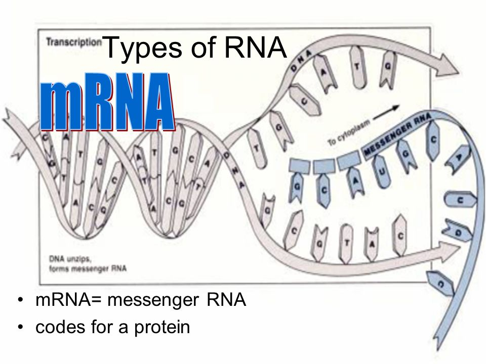 Types of RNA mRNA mRNA= messenger RNA codes for a protein