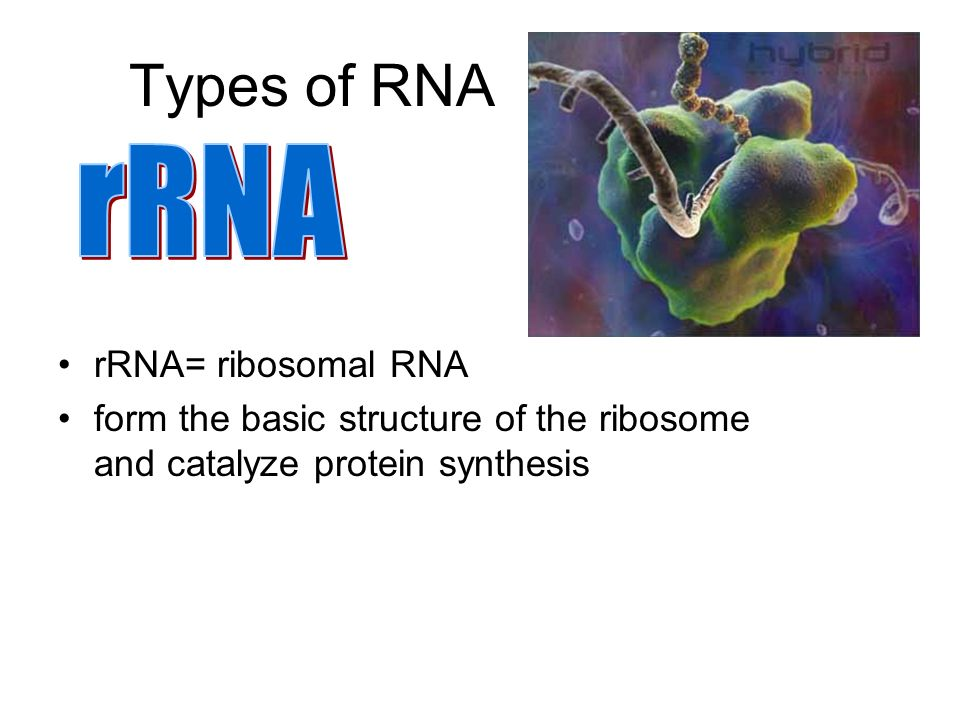 Types of RNA rRNA rRNA= ribosomal RNA