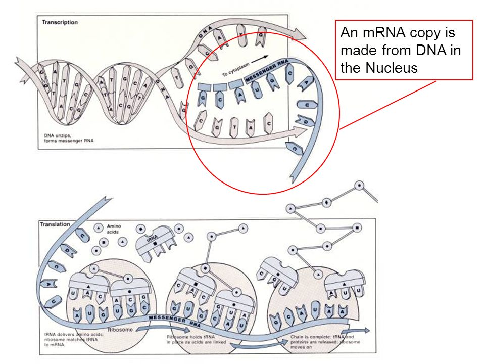 An mRNA copy is made from DNA in the Nucleus