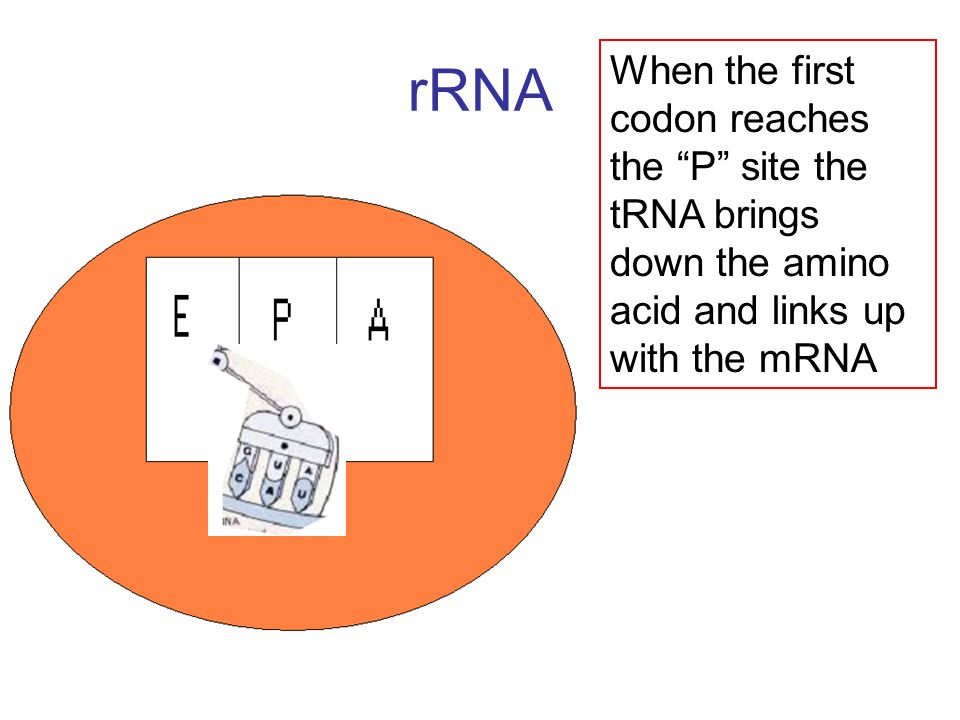rRNA When the first codon reaches the P site the tRNA brings down the amino acid and links up with the mRNA.