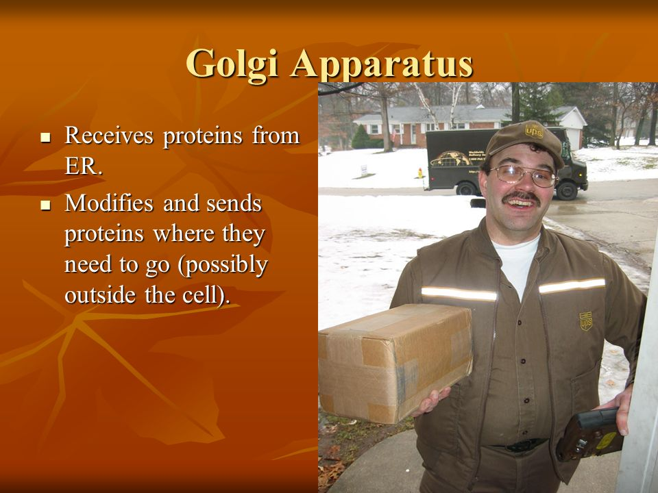 Golgi Apparatus Receives proteins from ER.