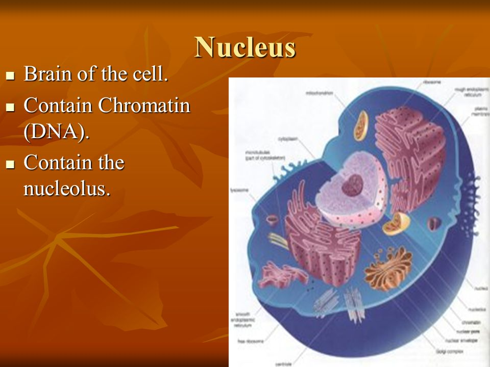 Nucleus Brain of the cell. Contain Chromatin (DNA).
