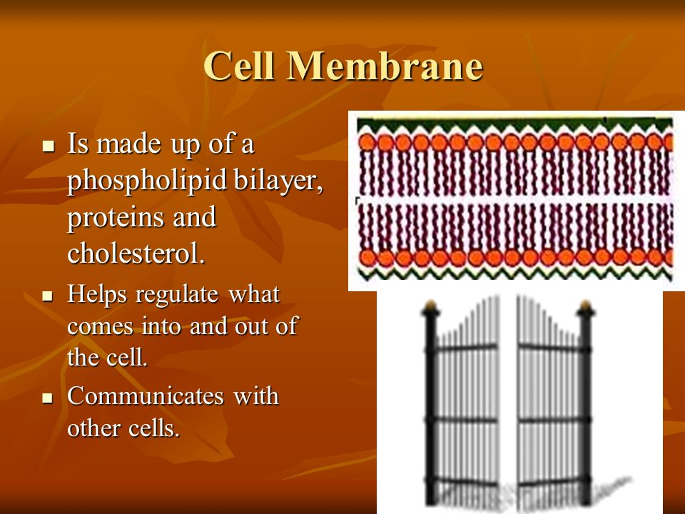 Cell Membrane Is made up of a phospholipid bilayer, proteins and cholesterol. Helps regulate what comes into and out of the cell.