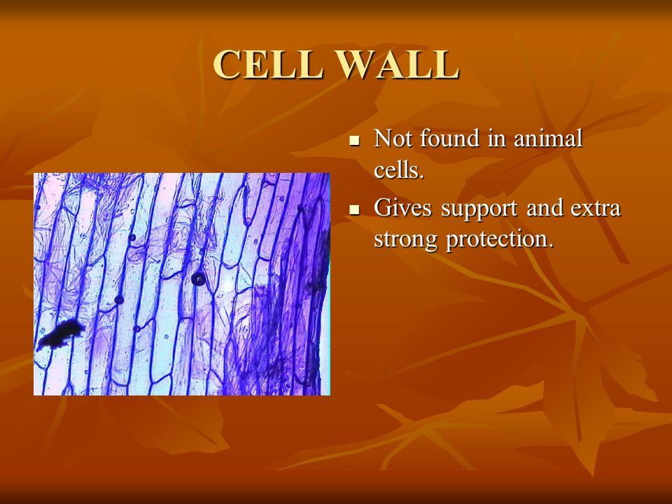 CELL WALL Not found in animal cells.