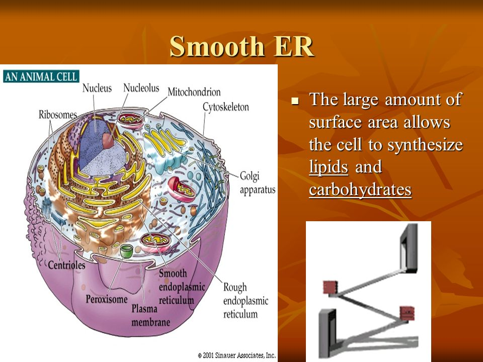 Smooth ER The large amount of surface area allows the cell to synthesize lipids and carbohydrates