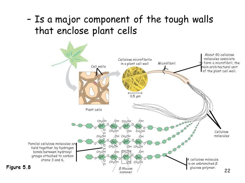 Is a major component of the tough walls that enclose plant cells