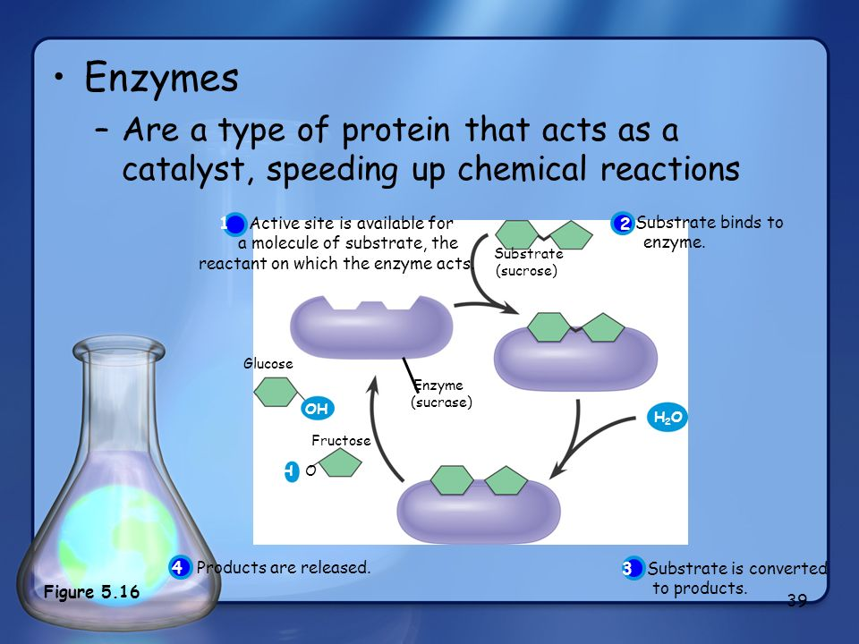 Enzymes Are a type of protein that acts as a catalyst, speeding up chemical reactions. Substrate. (sucrose)
