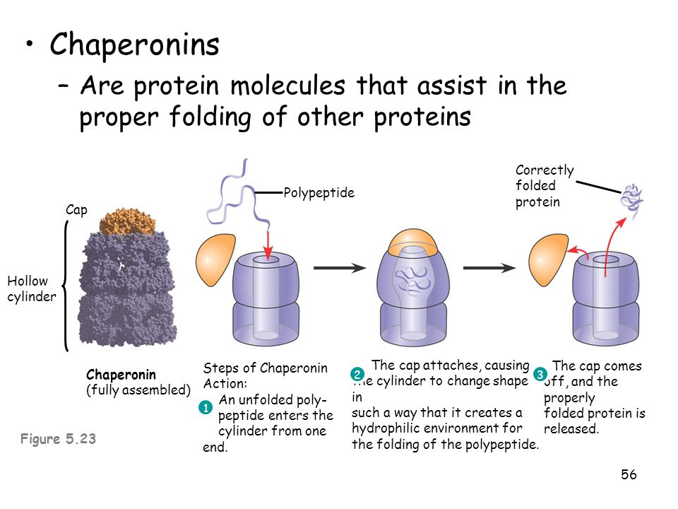 ChaperoninsAre protein molecules that assist in the proper folding of other proteins. Hollow cylinder.