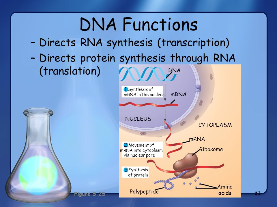 Synthesis of mRNA in the nucleus