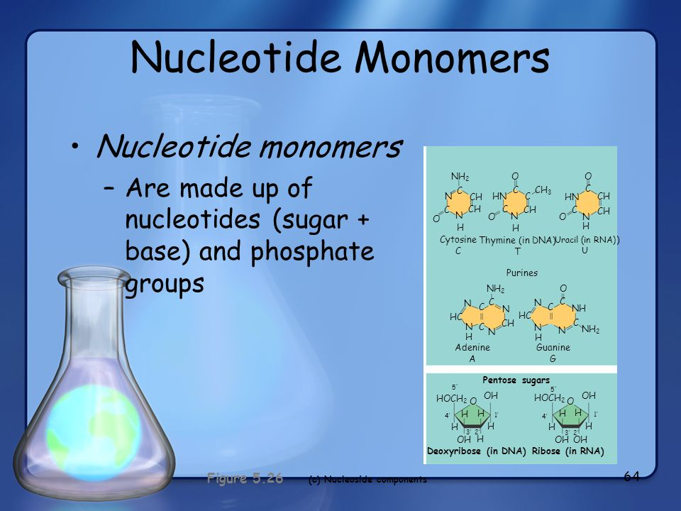 (c) Nucleoside components