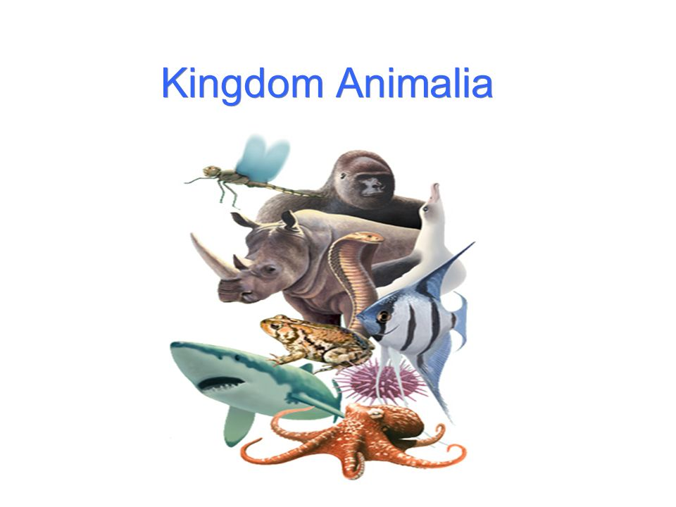 Kingdom Animalia. - ppt download