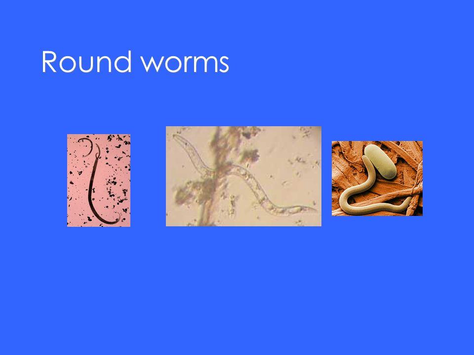 Round worms