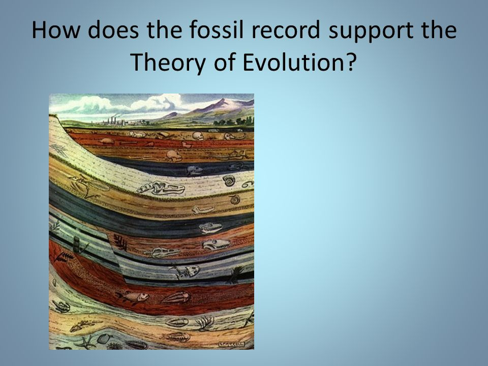 How does the fossil record support the Theory of Evolution
