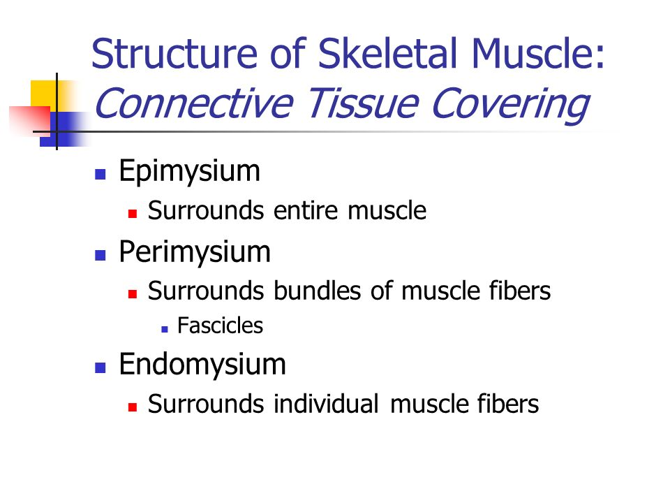 Structure of Skeletal Muscle: Connective Tissue Covering