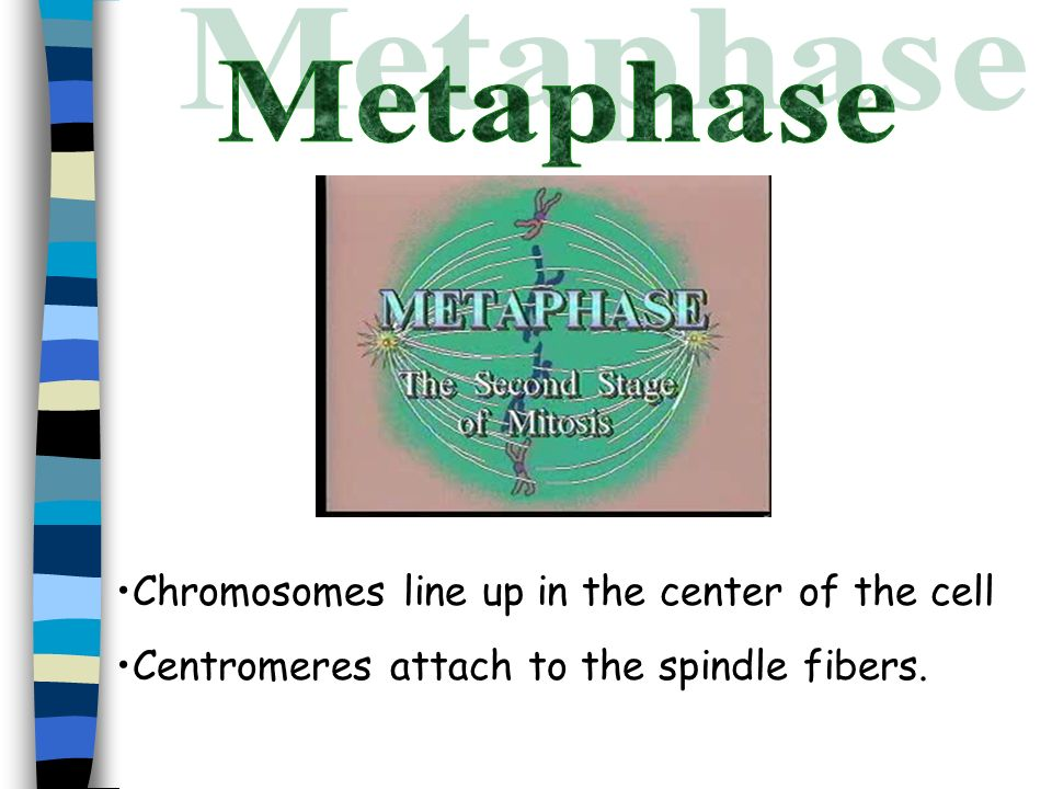 Metaphase Chromosomes line up in the center of the cell