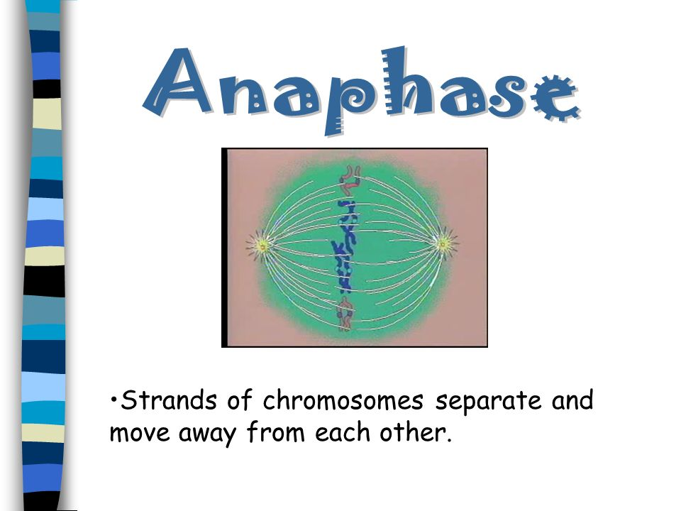 Anaphase Strands of chromosomes separate and move away from each other.
