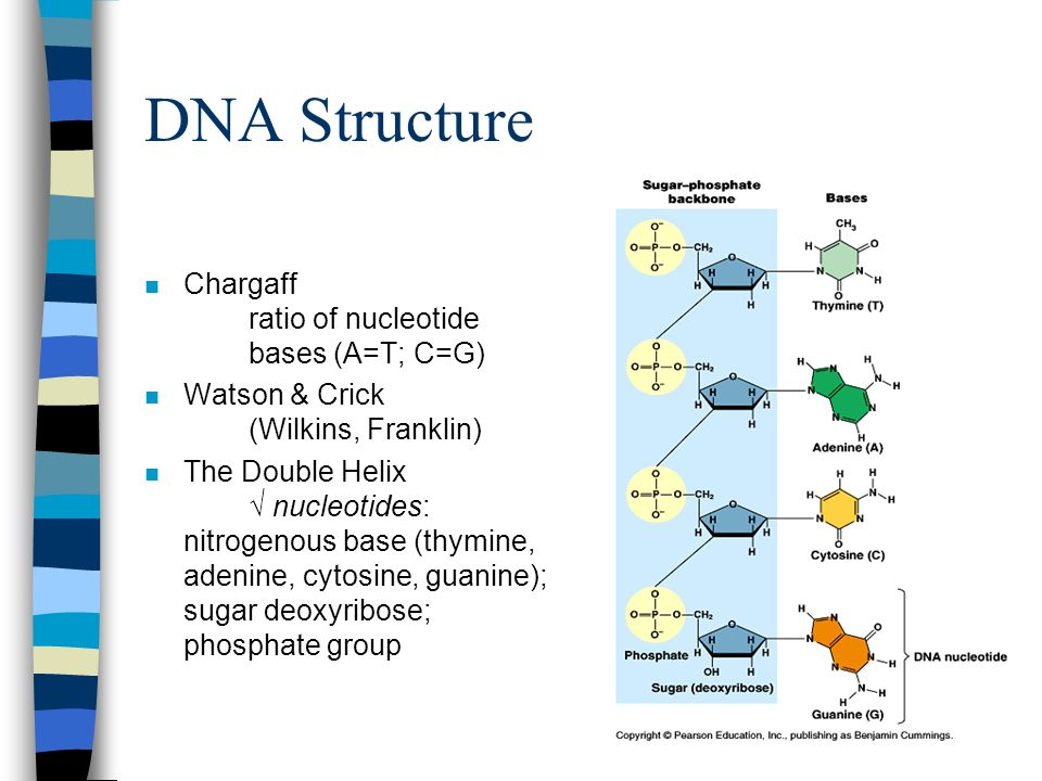 DNA Structure Chargaff ratio of nucleotide bases (A=T; C=G)