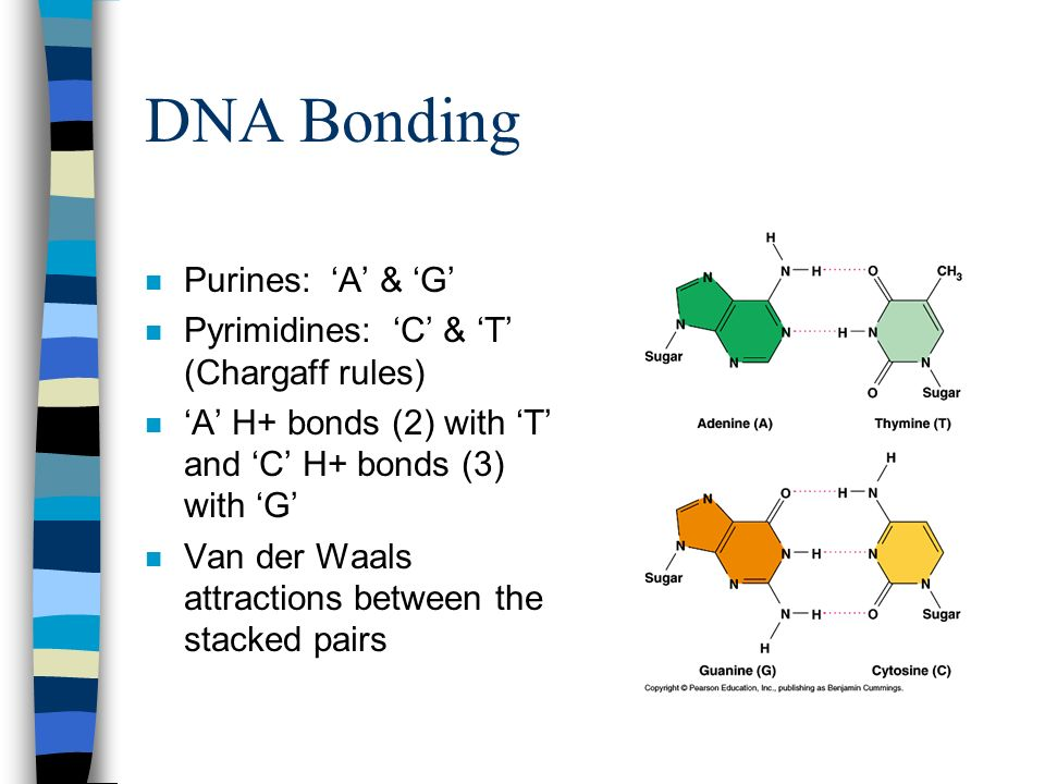 DNA Bonding Purines: 'A' & 'G' Pyrimidines: 'C' & 'T' (Chargaff rules)