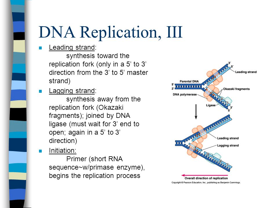 DNA Replication, III Leading strand: synthesis toward the replication fork (only in a 5' to 3' direction from the 3' to 5' master strand)