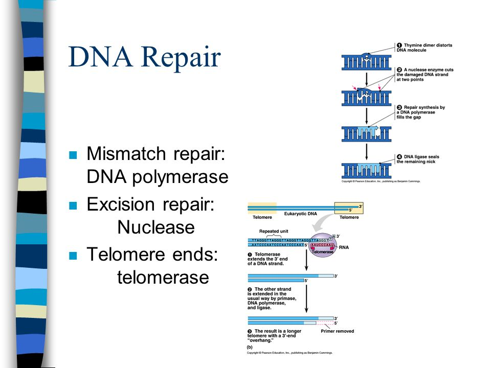 DNA Repair Mismatch repair: DNA polymerase Excision repair: Nuclease