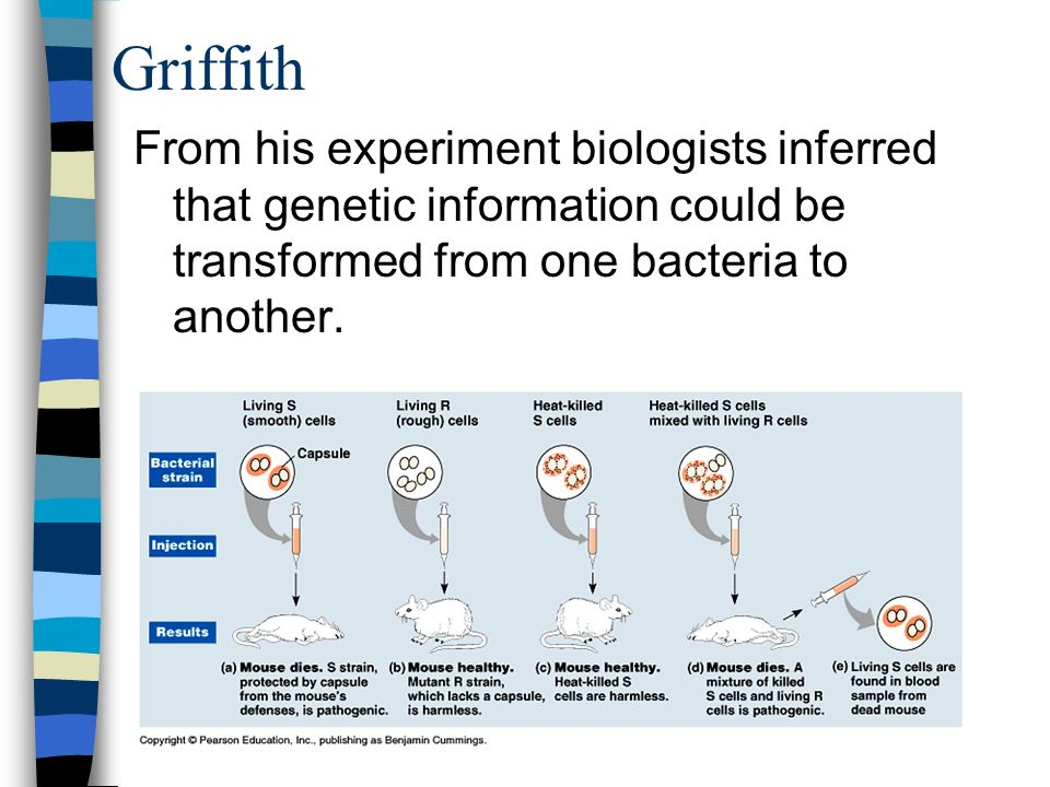 Griffith From his experiment biologists inferred that genetic information could be transformed from one bacteria to another.